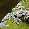 Blue Turkeytail