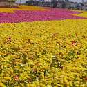Ranunculus flower Fields