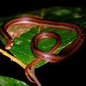 Purple kukri snake
