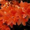 Azelea bush