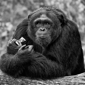 by Charliemagne Unggay - Black & White Animals ( animal, monkey, black and white )