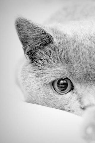 【免費解謎App】英國短毛貓拼圖-APP點子