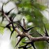 Bullhorn Acacia