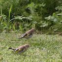 Goldfinch (European)