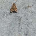 Buttoned snout moth