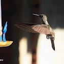 Beija-flor cinza (Sombre Hummingbird)