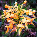 Yellow fringed orchid?