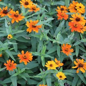 millies pride & joy by Tamara Koontz - Flowers Flower Gardens ( fall, color, colorful, nature )