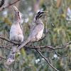 Indian Grey Hornbill - Pair