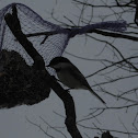 Blacked-caped chickadee