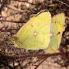 Mariposa colias, butterfly