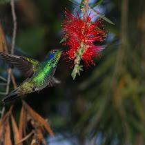 Hummingbirds of Colombia - Colibríes de Colombia