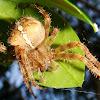 European garden spider (cross orbweaver)