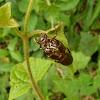 Cigarra (Cicada)