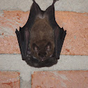 New World Leaf-Nosed Bat