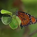 Mariposa soldado
