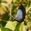 Ansorge's Leaf Butterfly