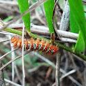 Echo Moth