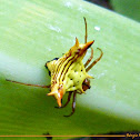 Arrow-shaped Spider