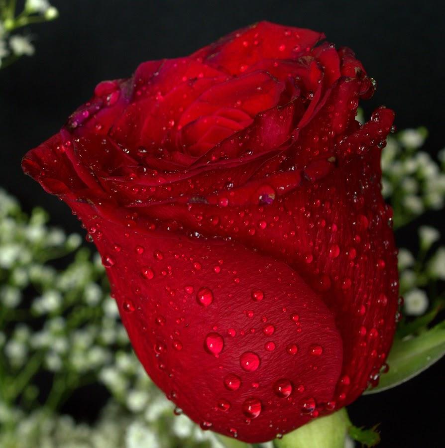 by Andrew Piekut - Flowers Single Flower (  )