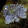 Large black dog-lichen