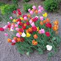 Tulip (Tulipano)