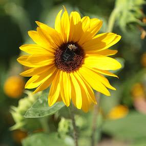 Untitled by Yana Villion - Flowers Single Flower ( single flower, sunflower, yellow, yellow flower, flower, Hope,  )