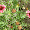 Firewheel (Indian Blanket)