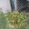 Eastern sweet shrub