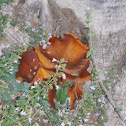 Jack-o'-lantern mushrooms
