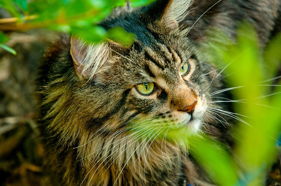 Hunter by Luana Racan - Animals - Cats Portraits ( animals, kitten, cat, maine, grass, green, stripes, #garyfongpets, photo, portrait, photography, cats, #showusyourpets, hunter, maine coon, photographer, kitty, mainecoon, animal )