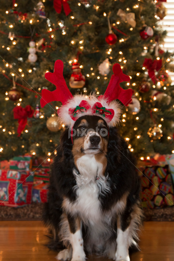 Merry Christmas by Beth Milam - Public Holidays Christmas ( christmas, dog, aussie )