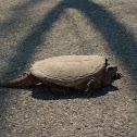snapping turtel
