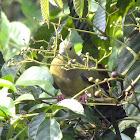 Pink-necked green pidgeon