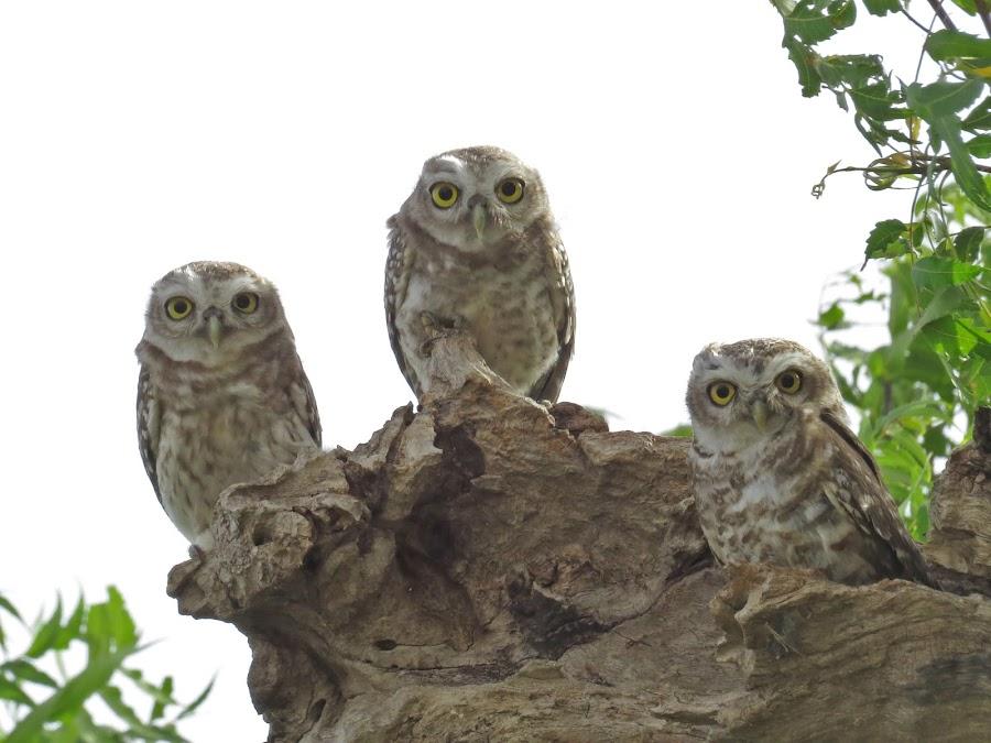 Three by Kishan Meena - Animals Birds ( bird, nature, chandlai lake, wildlife, owls )