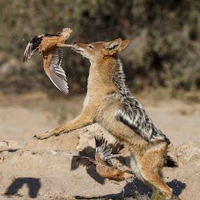 catching by Jan Fourie - Animals Other Mammals