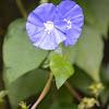Garden flower. Blue Daze,Brazilian dwarf morning-glory, Hawaiian Blue Eyes