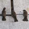 House Sparrow(Pardal comum)