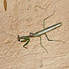 Chinese Mantid (Male)
