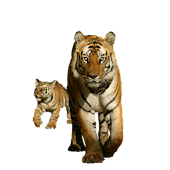 Tiger with Cub Sticker