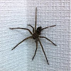 Ashidaka-gumo (Ashidaka Spider)