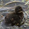 Mallard (chick)