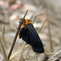 Gnamptonychia Ventralis (Male)