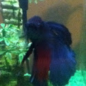 Betta or fighting fish