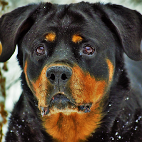 German Rottweiler  by Denise Johnson - Animals - Dogs Portraits ( animals, dogs, german rottweiler, pet, pets, dog, animal,  )
