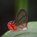 Rusted Clearwing-Satyr  Mariposa de alas transparentes
