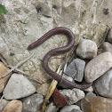 Iberian worm lizard