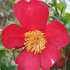 Red Camellias
