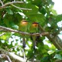 Boehm's Bee-eater