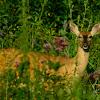 White-tailed deer- doe
